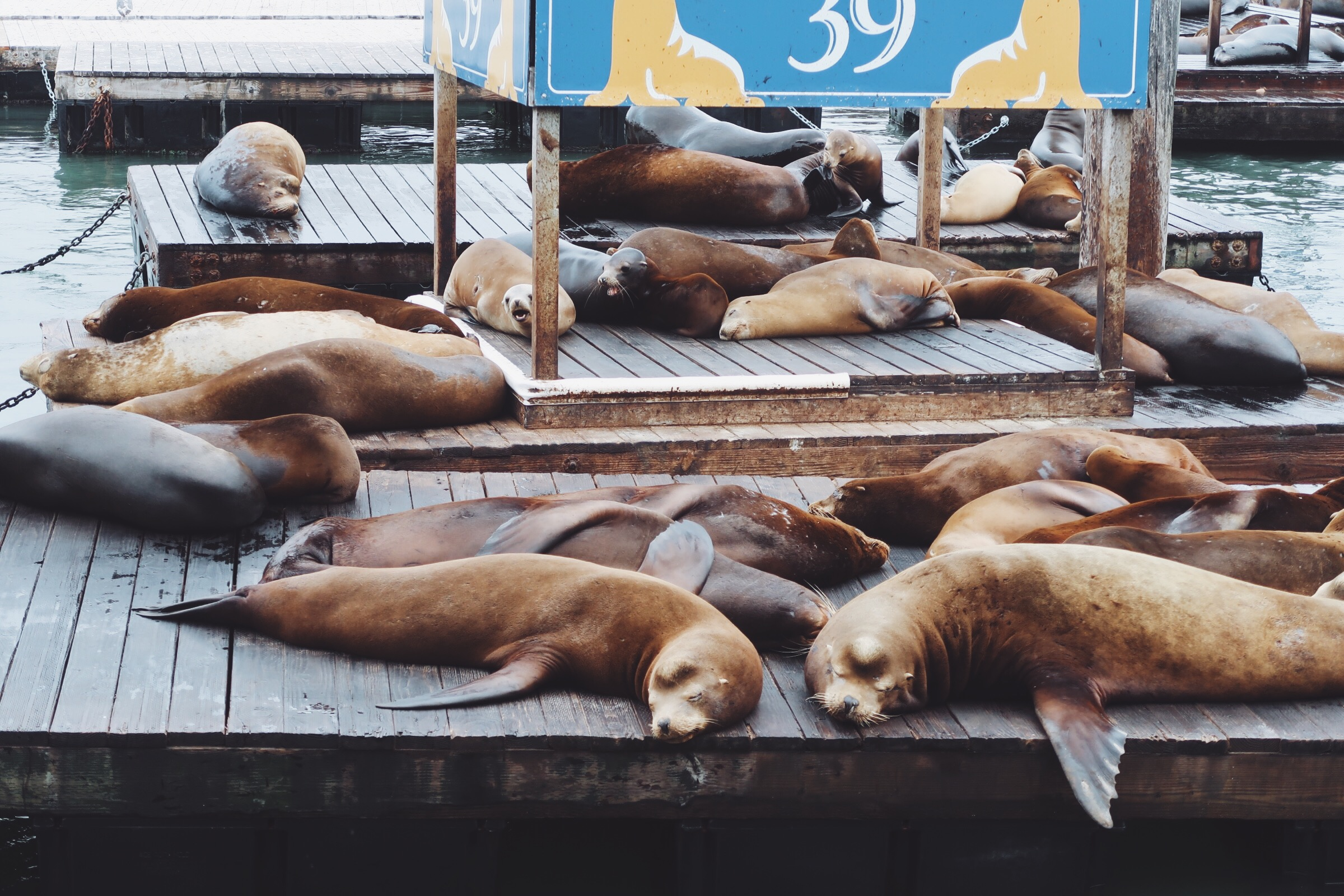 The cute sleepy sea lions of Pier 39