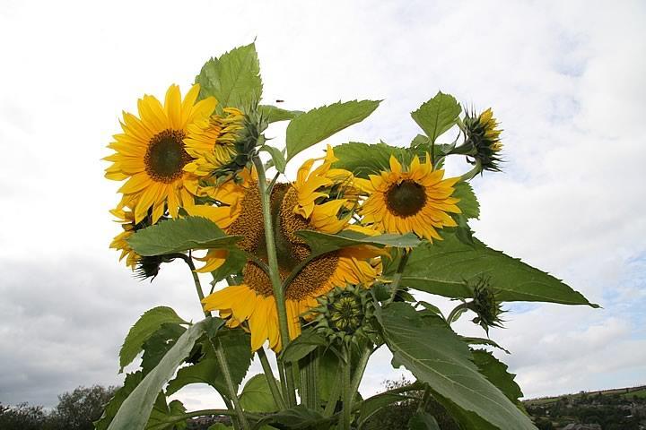 AllotmentOpenDay-Sunflowers[1].jpg
