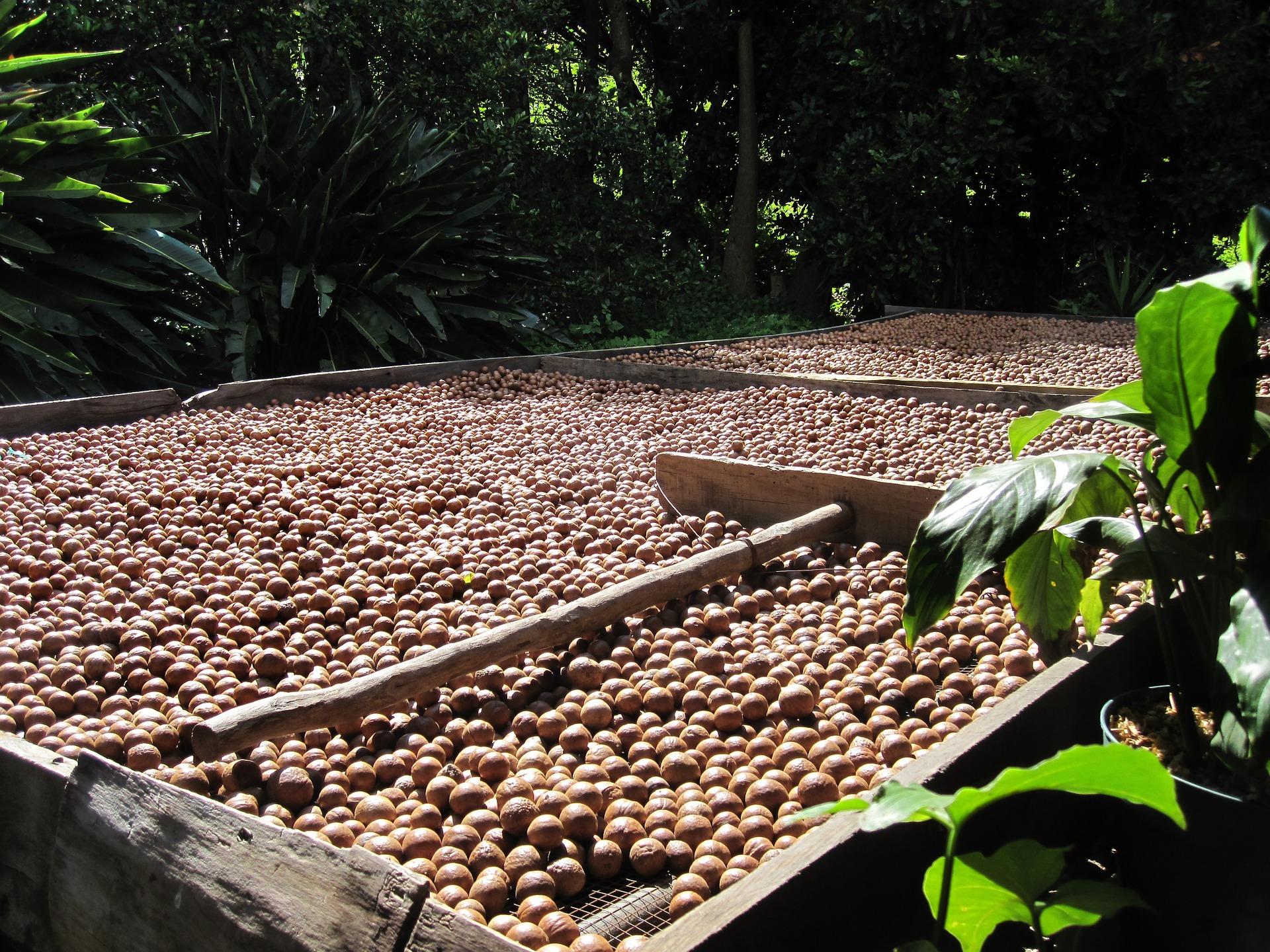Macadamiapähkinöitä kuivumassa