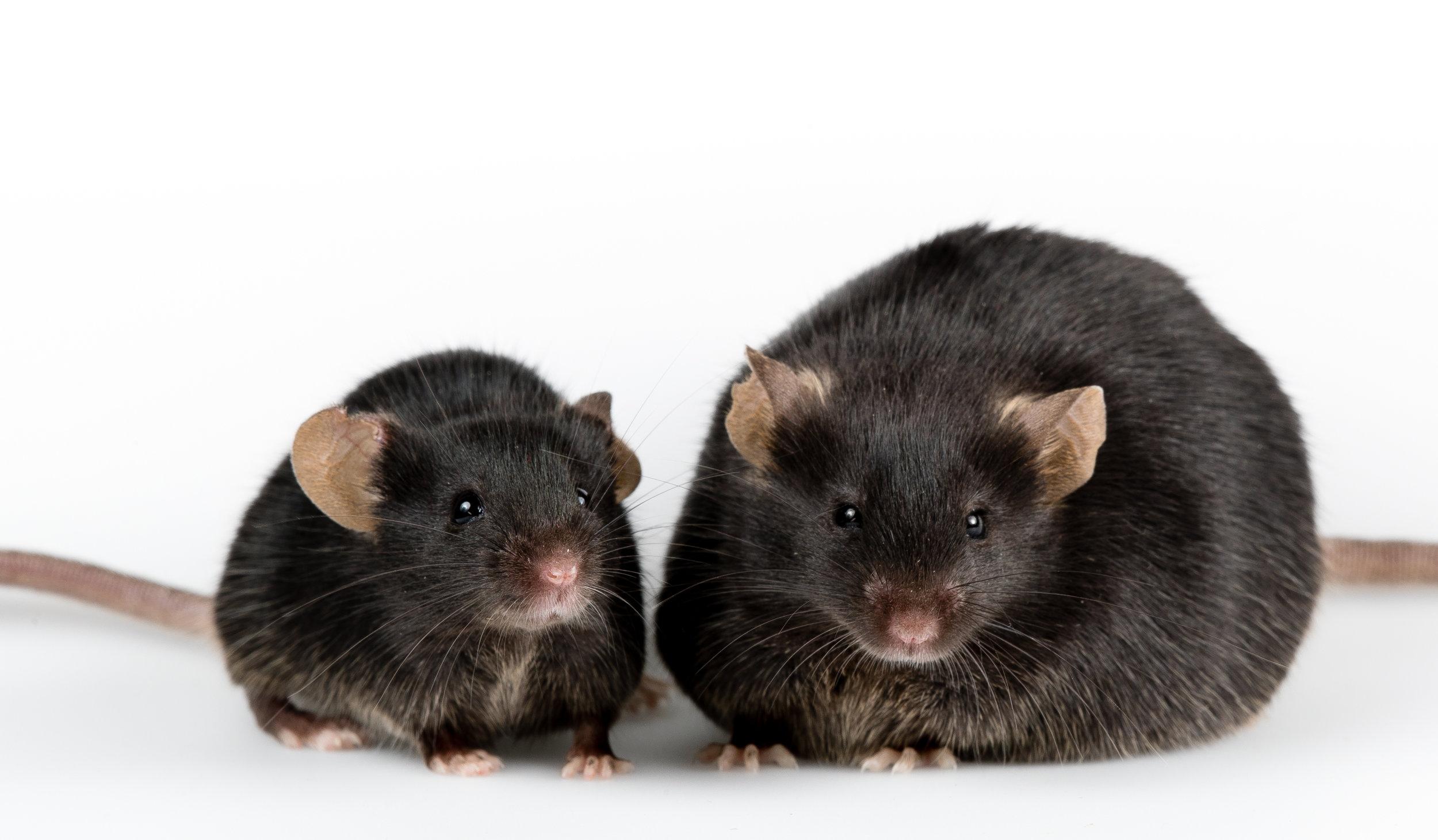 Eläinkokeissa vadelmaketoneilla oli vaikutusta rottien painoon, mutta käytetyt annokset olivat niin suuria, ettei suhteellisesti samansuuruisia annoksia ole mahdollista saada lisäravinteista.