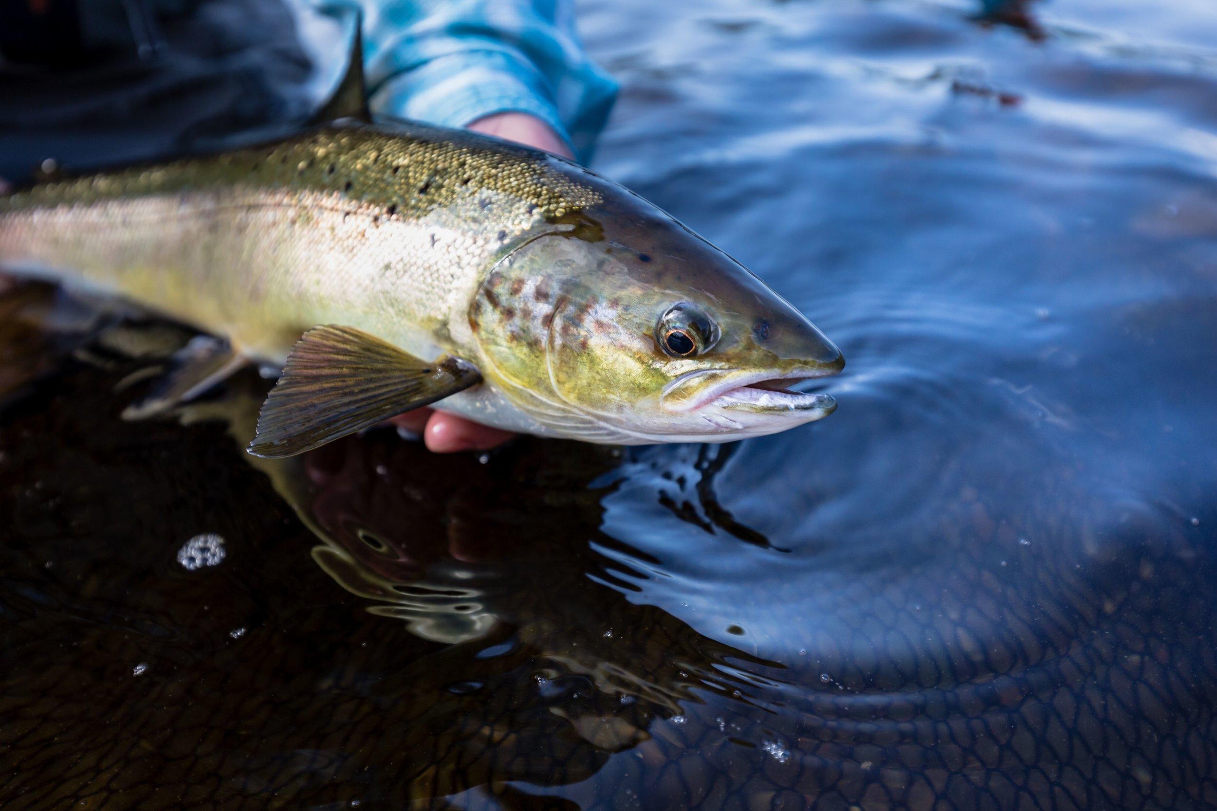 salmon fishing on the miramichi 5.jpeg