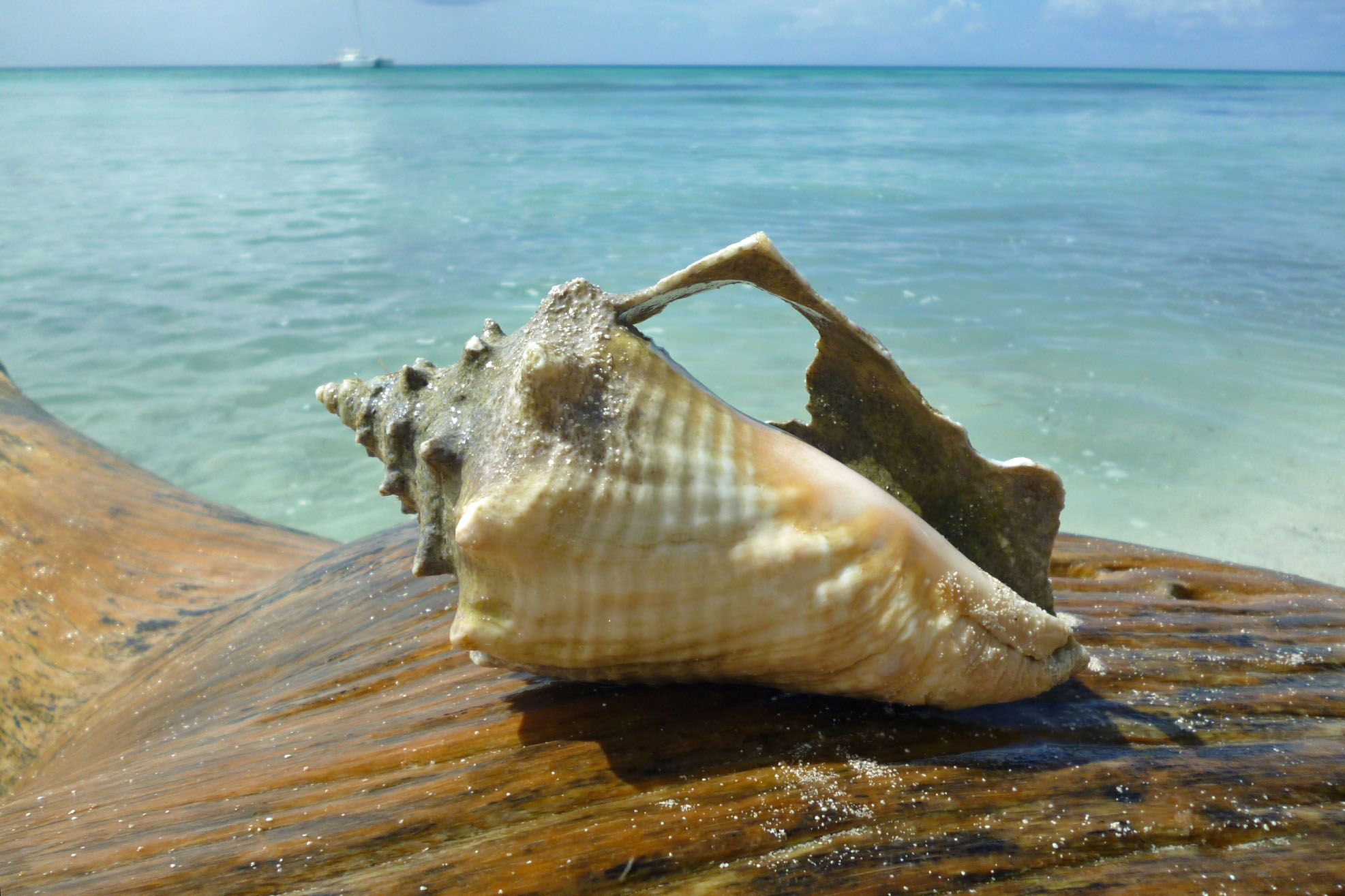 Calender Sea Shell.jpg