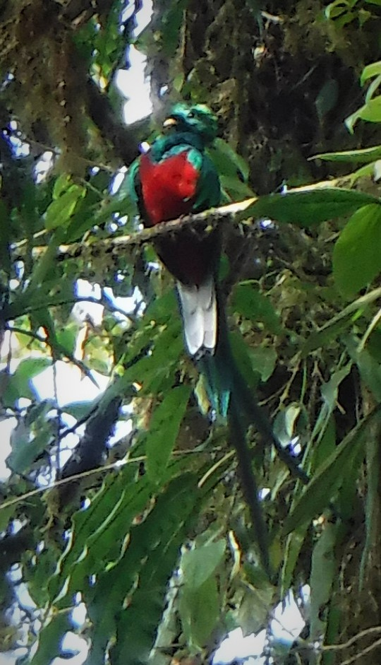 Costa Rica Quetzal cropped.JPG