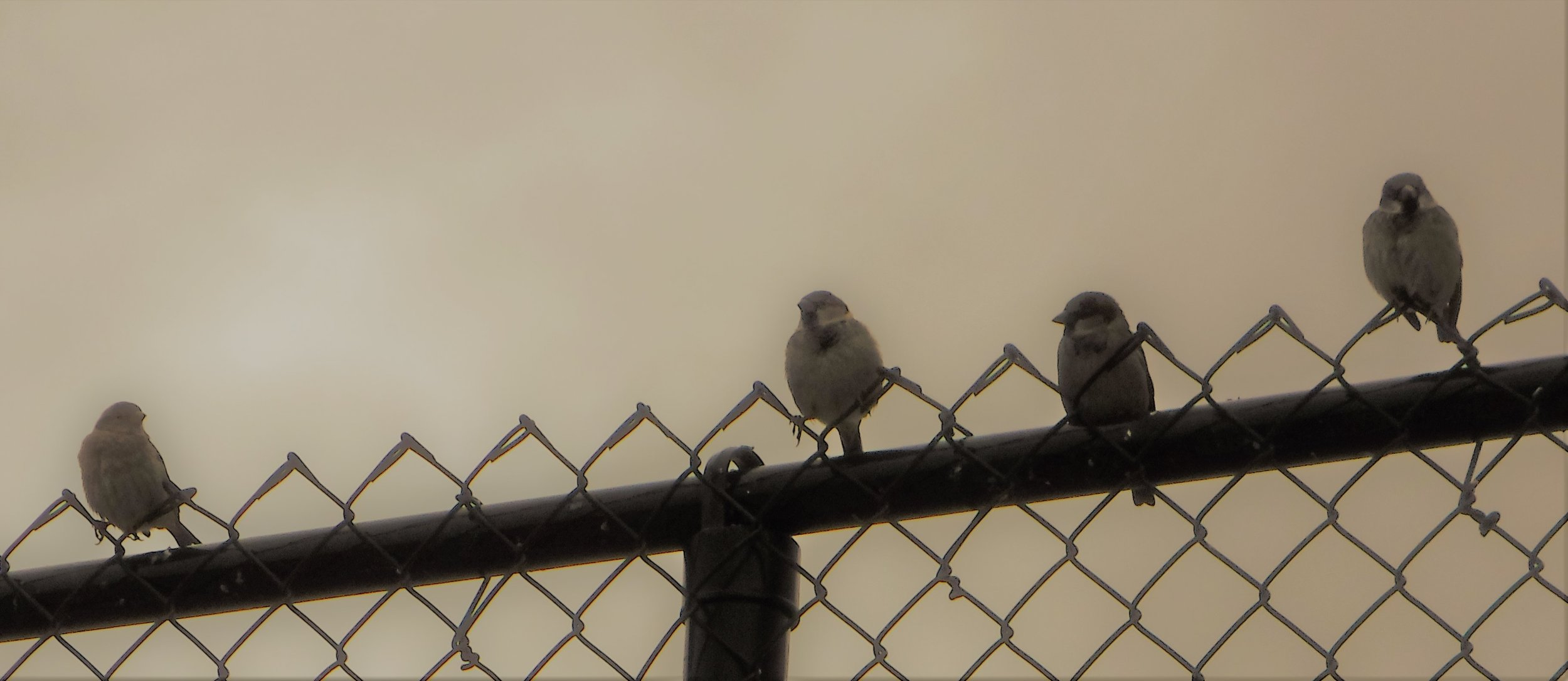 Birds on a chain-link fence at the Canadian Tire, Paris, Ont.