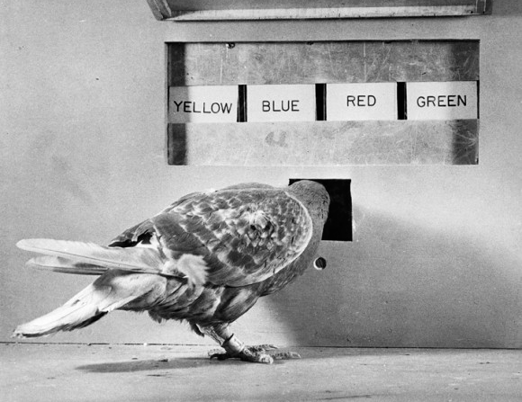 12 Jun 1950 — B.F. Skinner conducts psychological experiment with pigeons in which they must match a colored light with a corresponding colored panel in order to receive food. — Image by © Bettmann/CORBIS