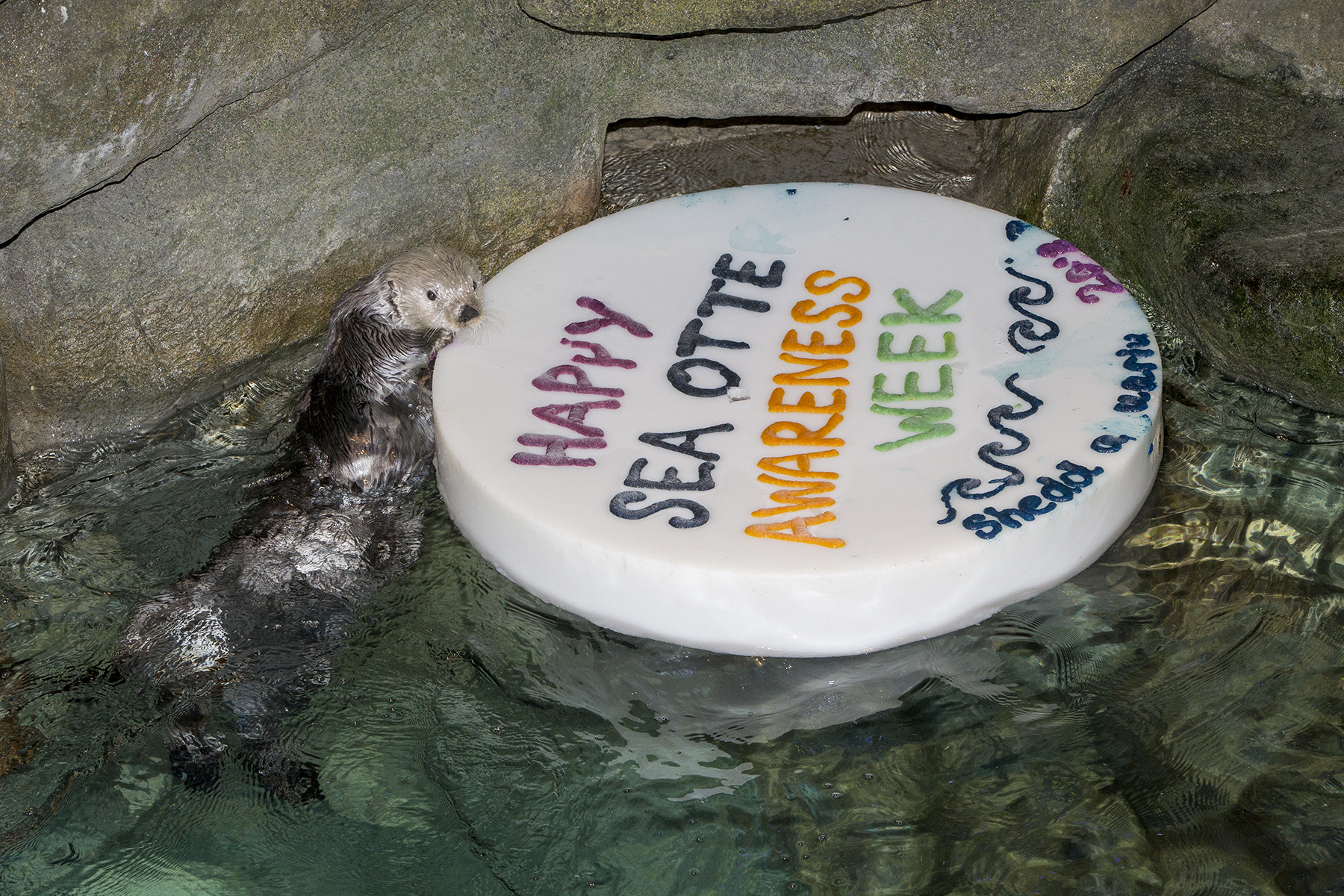 Sea Otters at Shedd Aquarium Celebrate Sea Otter Awareness Week with Ice Cakes 3