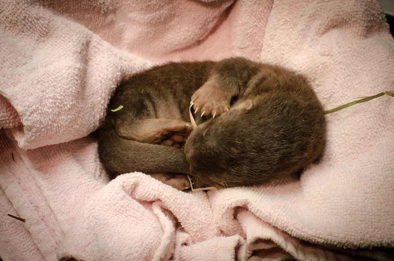 More on the Oregon Zoo's Newborn Otter Pup! 2