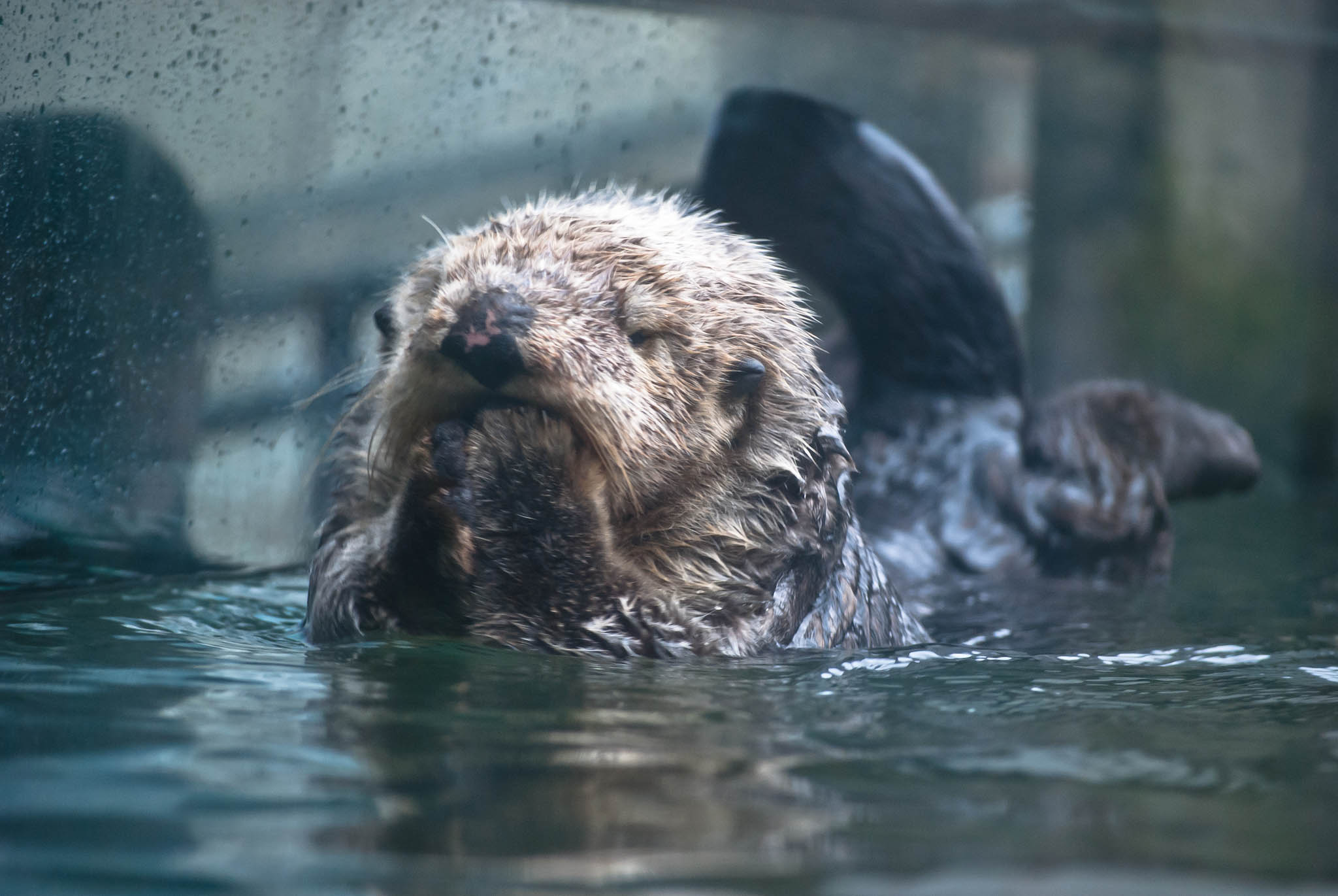 Sea Otter Wally Is Deep in Thought