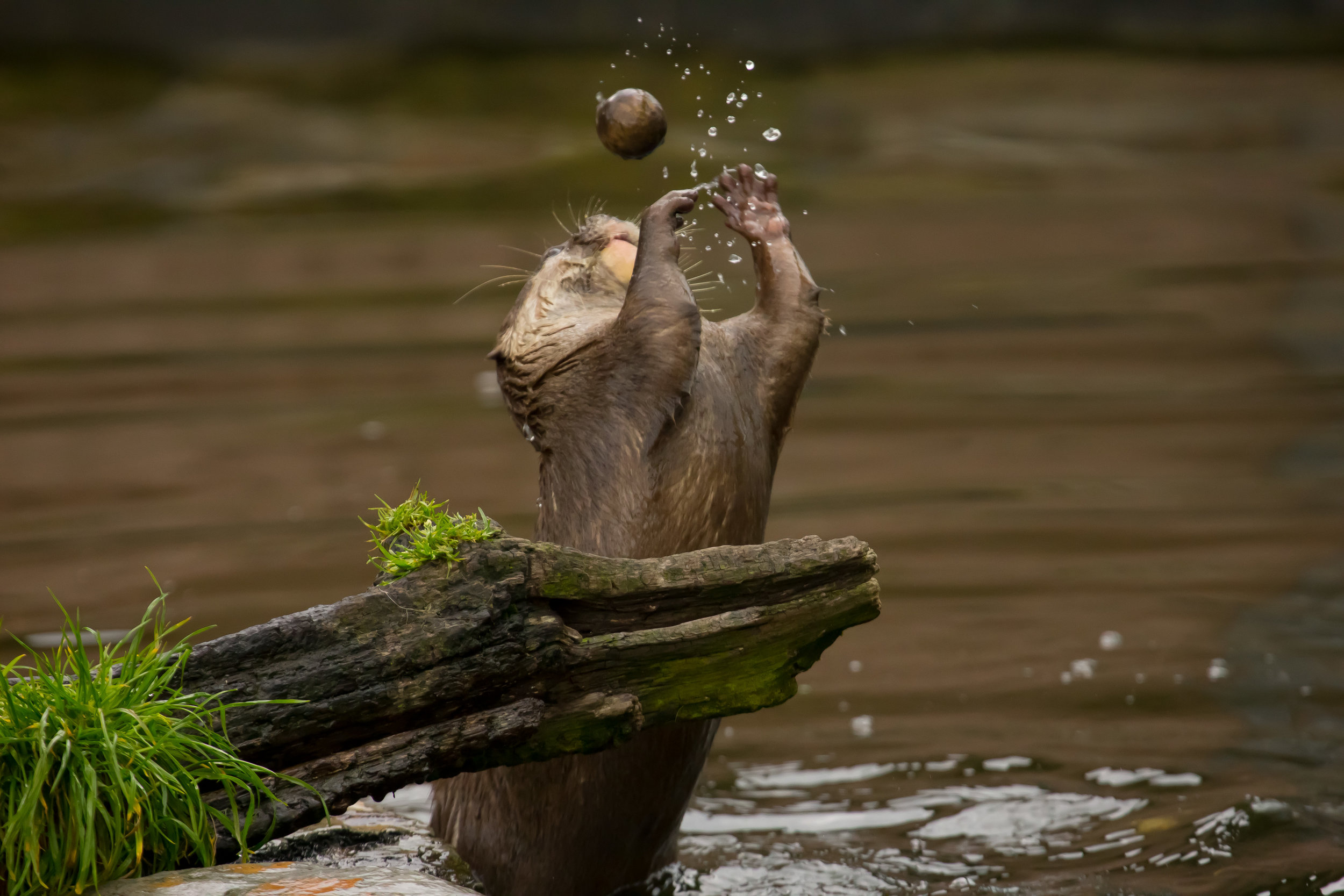 Dextrous Otter Practices Juggling and the Shot Put 1