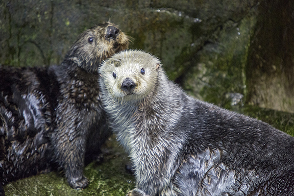 Sea Otters Are Good at Looking Cuddly 2