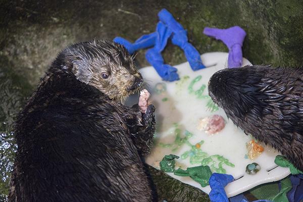 Sea Otters at Shedd Aquarium Celebrate Sea Otter Awareness Week with Tasty, Icy Treats 2