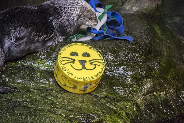 Sea Otters at Shedd Aquarium Celebrate Sea Otter Awareness Week with Tasty, Icy Treats 3
