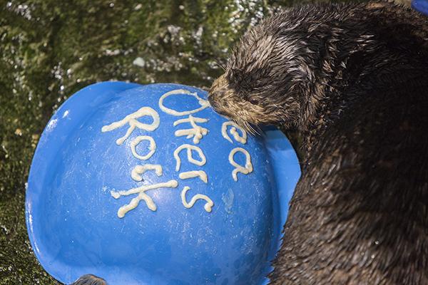 Sea Otters at Shedd Aquarium Celebrate Sea Otter Awareness Week with Tasty, Icy Treats 5