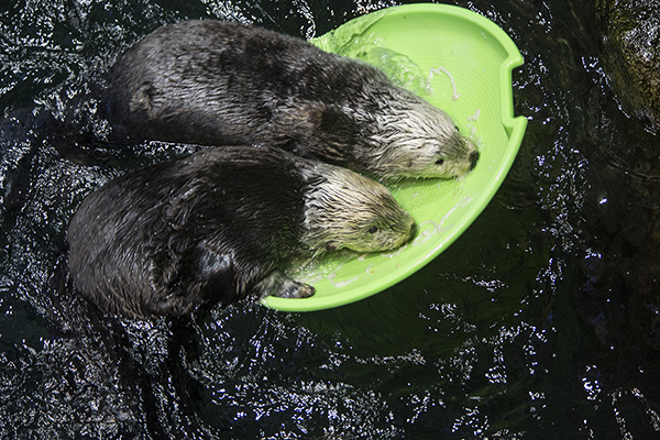 Two Sea Otters Try to Climb on the Same Floating Toy