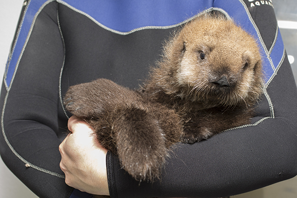 Cuddles for Sea Otter Pup 681 2