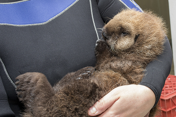 Cuddles for Sea Otter Pup 681 3