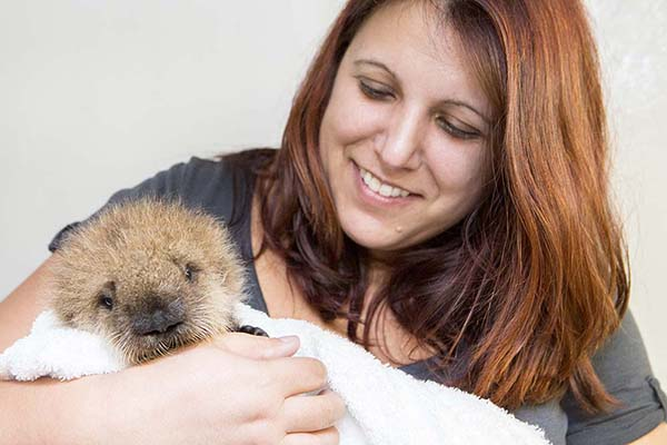 Orphaned Sea Otter Pup 681's First Night with Her Caretaker Humans at Shedd Aquarium 11