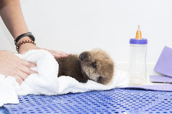 Orphaned Sea Otter Pup 681's First Night with Her Caretaker Humans at Shedd Aquarium 13