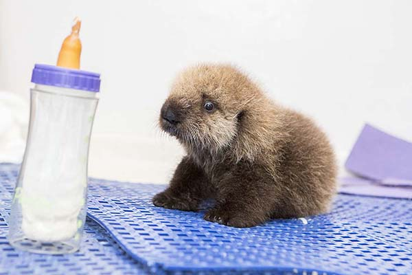 Orphaned Sea Otter Pup 681's First Night with Her Caretaker Humans at Shedd Aquarium 15