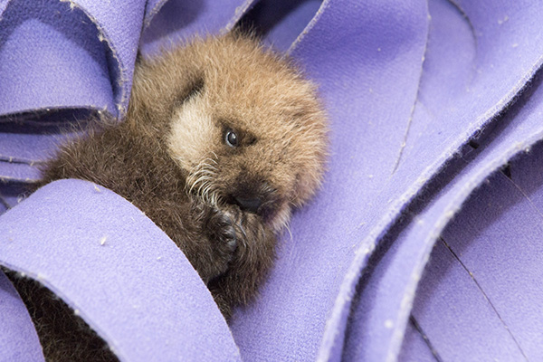 Orphaned Sea Otter Pup 681's First Night with Her Caretaker Humans at Shedd Aquarium 4