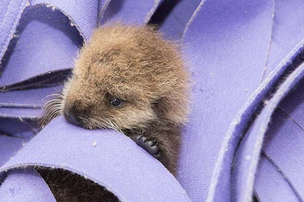 Orphaned Sea Otter Pup 681's First Night with Her Caretaker Humans at Shedd Aquarium 5