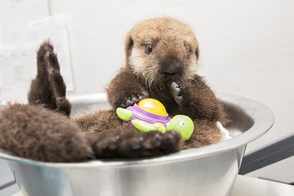 Sea Otter Pup 681 Is Weighed with Her Toys 10