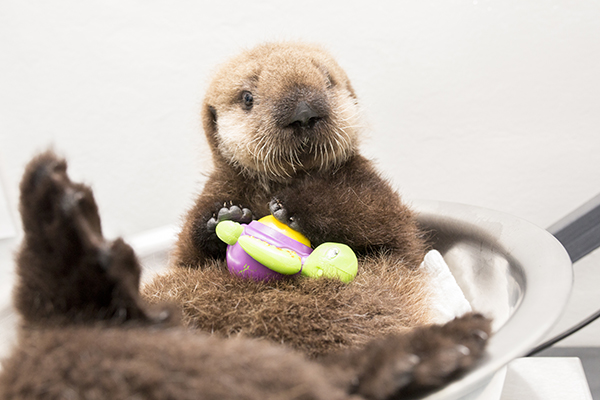 Sea Otter Pup 681 Is Weighed with Her Toys 12