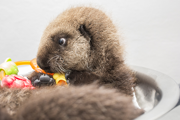 Sea Otter Pup 681 Is Weighed with Her Toys 13