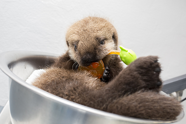 Sea Otter Pup 681 Is Weighed with Her Toys 14