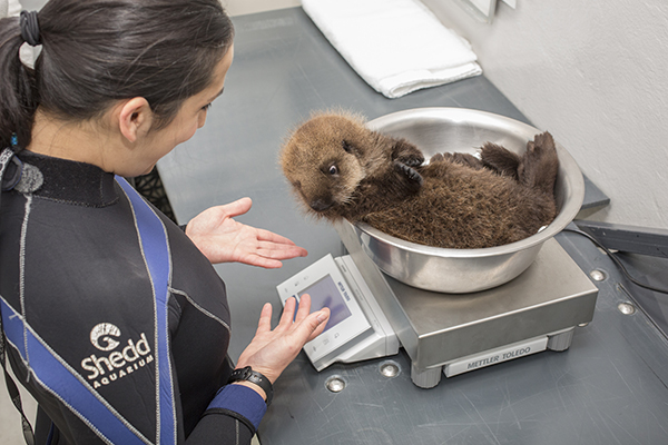 Sea Otter Pup 681 Is Weighed with Her Toys 16