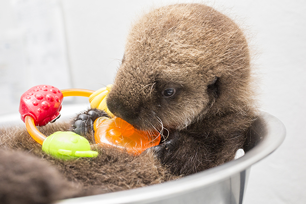 Sea Otter Pup 681 Is Weighed with Her Toys 15