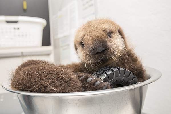 Sea Otter Pup 681 Is Weighed with Her Toys 4