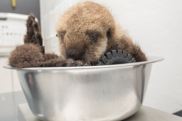 Sea Otter Pup 681 Is Weighed with Her Toys 6