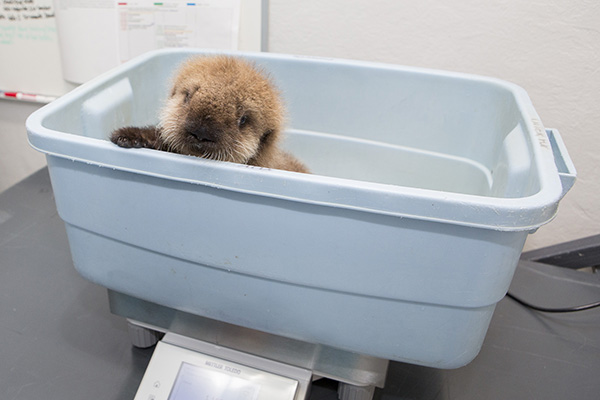 Sea Otter Pup 681 Gets Weighed and Goes for a Swim 3