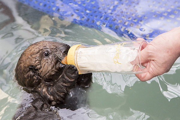 Sea Otter Pup 681 Gets Weighed and Goes for a Swim 7