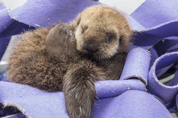 Sea Otter Pup 681 Goes for a Swim and Lounges Poolside 4