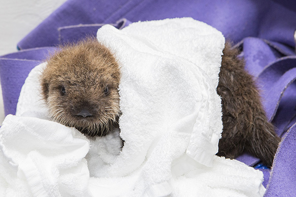Sea Otter Pup 681 Has Some Towel Time and Plays with Her Toys 1