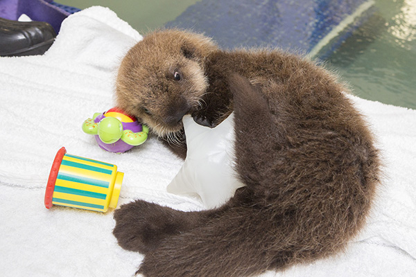 Sea Otter Pup 681 Has Some Towel Time and Plays with Her Toys 4