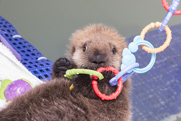 Sea Otter Pup 681 Has Some Towel Time and Plays with Her Toys 5