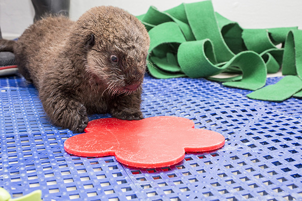Sea Otter Pup's 681 New Name is Luna! 1