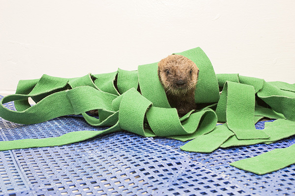 Sea Otter Pup's 681 New Name is Luna!