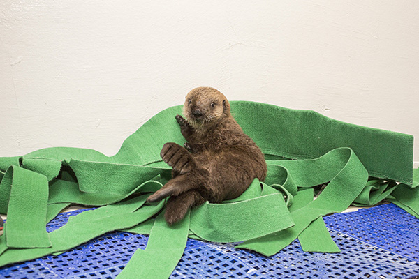Sea Otter Pup's 681 New Name is Luna! 4