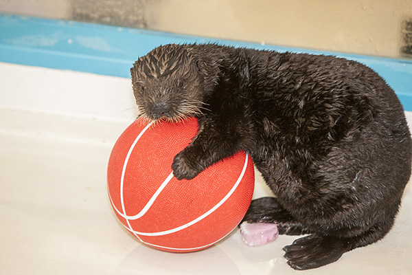 Sea Otter Pup Luna Has a Basketball 3