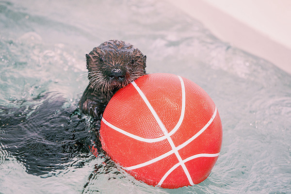 Sea Otter Pup Luna Has a Basketball 5
