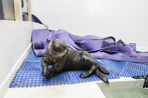 Sea Otter Pup 719 Is Already a Pro at Poolside Posing 2