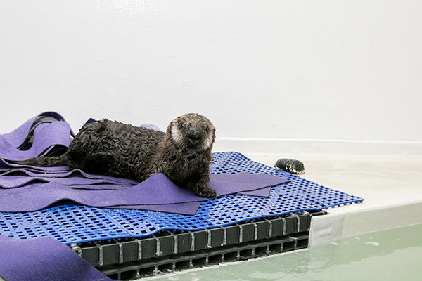 Sea Otter Pup 719 Is Already a Pro at Poolside Posing 4