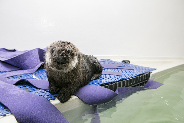 Sea Otter Pup 719 Is Already a Pro at Poolside Posing 5