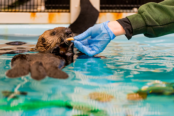 Sea Otter Pup 719 Is Hand-Fed a Snack 1
