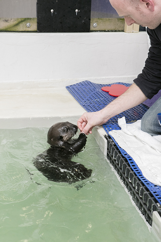Sea Otter Pup 719 Practices Receiving and Nomming Treats 1