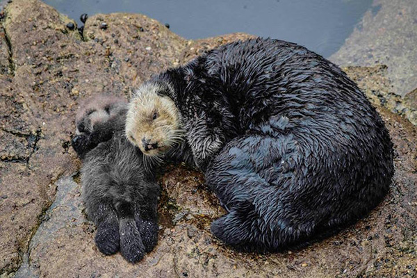 Sea Otter and Her Newborn Pup Catch Forty Winks on Land